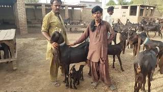 Goat price-Youtube